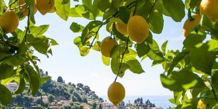 Menton citron @AccessRiviera
