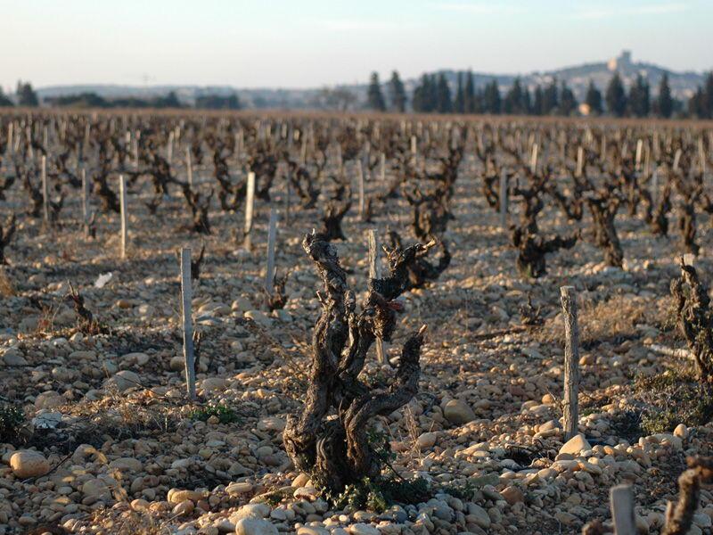 Vignobles Mayard Chateauneuf du Pape vines