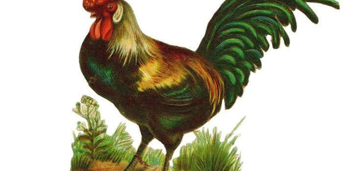 Gallic Rooster France