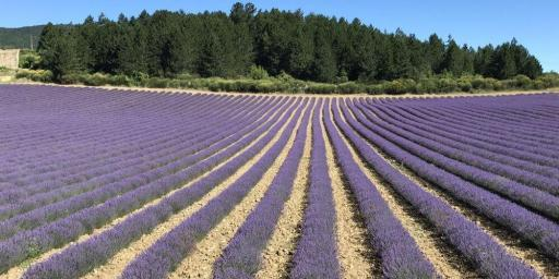Bike Riding Lavender Fields Provence