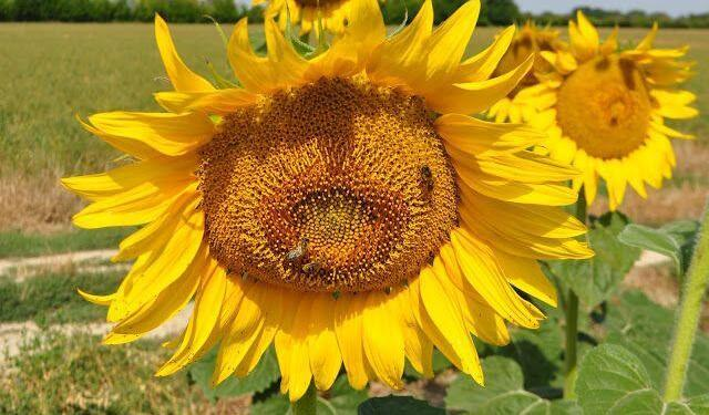 Sunflowers Fields Provence