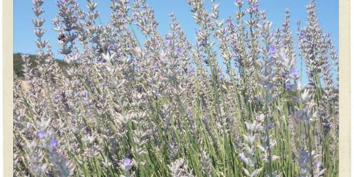Provence Bureau Branch Office Lavender Sault