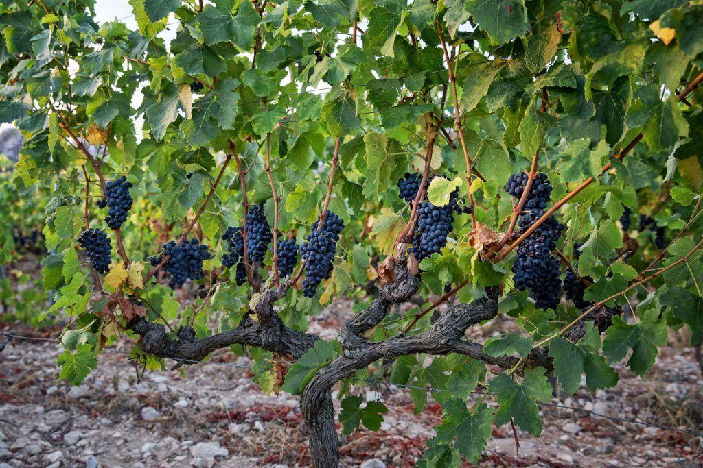 Château Romanin vines wine