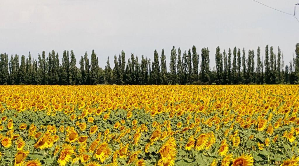 Provence Sunflower Fields