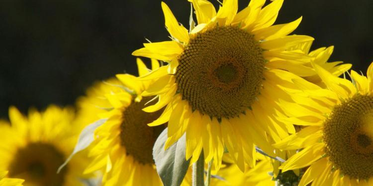 Sunflowers Provence Tournesols France