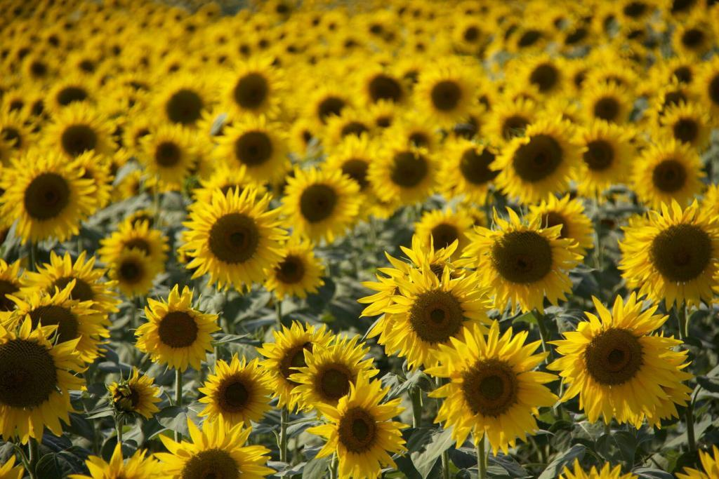 Sunflowers Provence Tournesols France