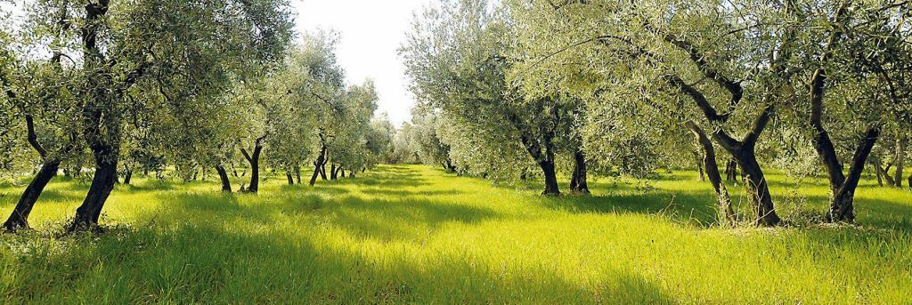Jean Martin Company Olive Groves Provence oliveraie quinard