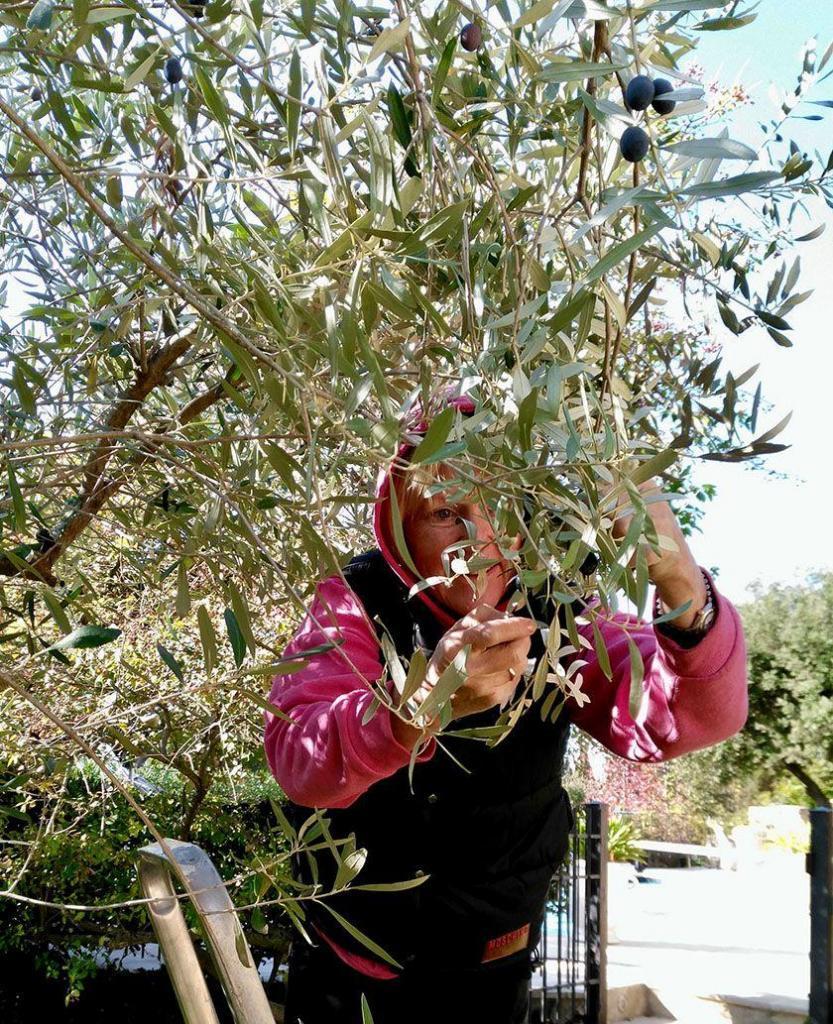 Mas d'Augustine Luxury B&B Expat Life Olive Harvest