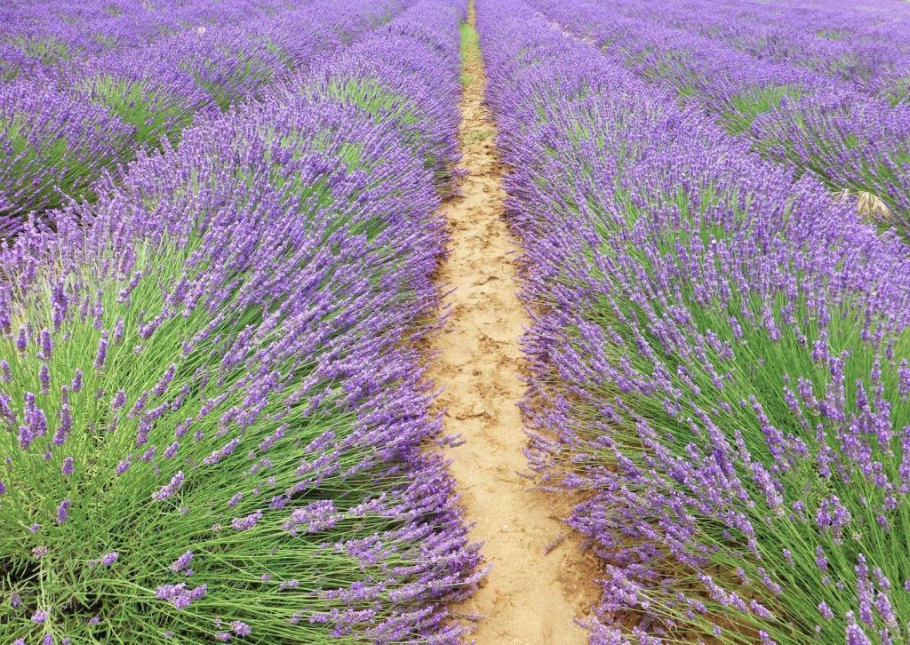 Bonnieux Lavender, Provence, France @ShutrsSunflowrs