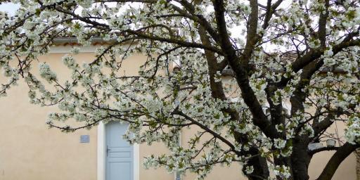Spring Luberon Lourmarin Cherry trees blooming Maison-des-Cerises