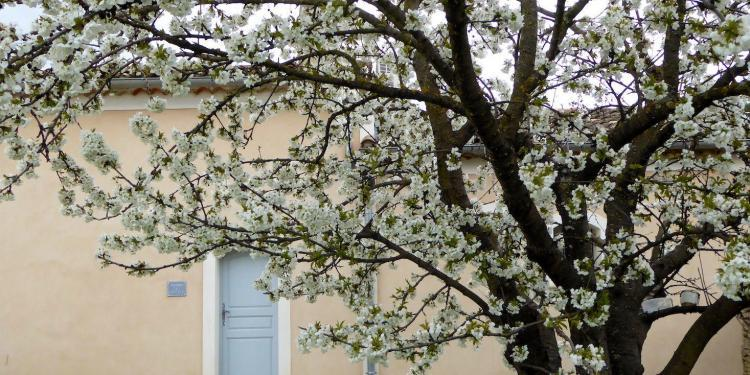 Spring Luberon Lourmarin Cherry trees blooming Maison-des-Cerises