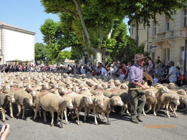 Transhumance in Saint-Remy de Provence Retirement Home Gayle Padgett