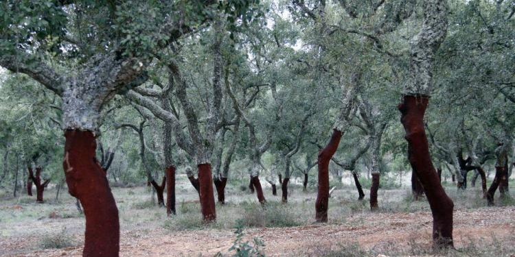 Cork Trees Wine Cork Oaks