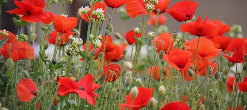 Provence Poppies Spring Landscapes
