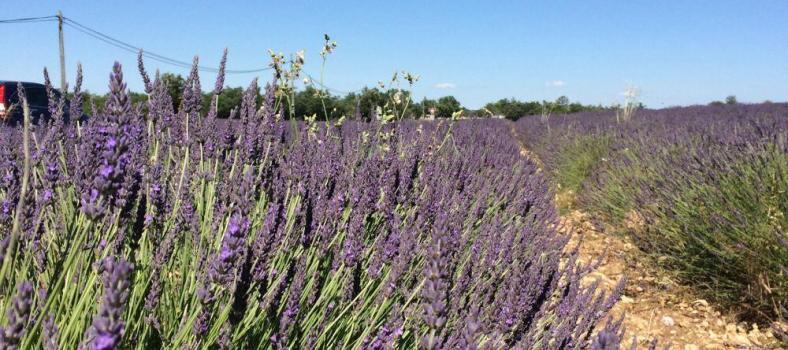 Lavender Fields Vaucluse
