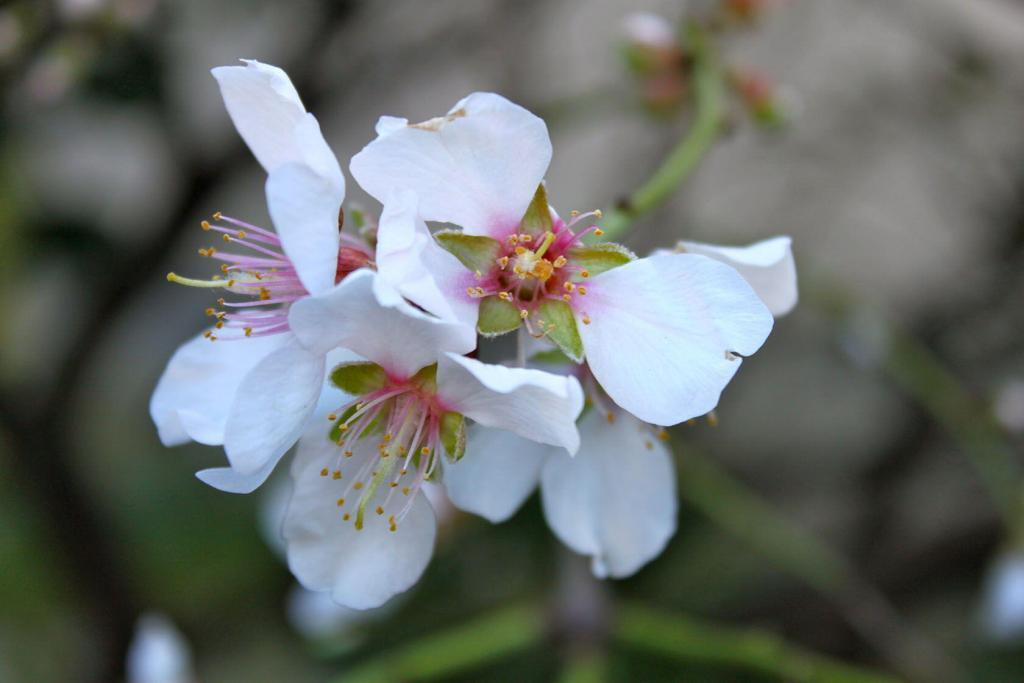 Almond Blossoms Provence January