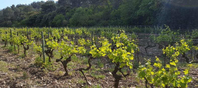 Domaine Dalmeran AoP Les Baux de Provence Vineyards