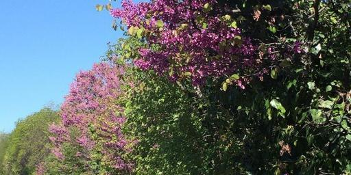 Judas Tree Blooms