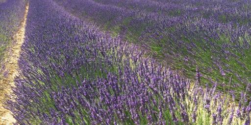 Lavender Uzes