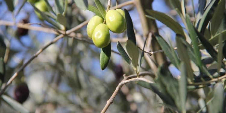 Provence Gourmet Getaway Olives