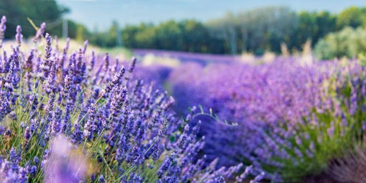Guide Lavender Provence