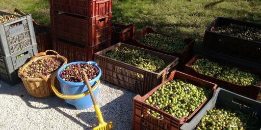 Virgin Olive Harvester olive crop