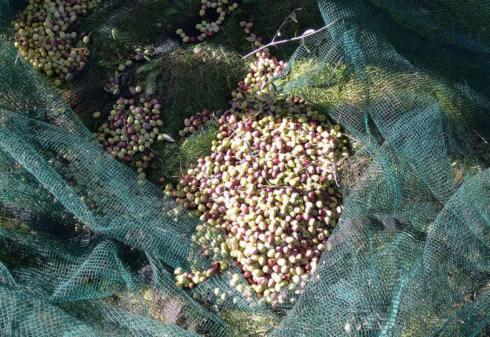Virgin Olive Harvester