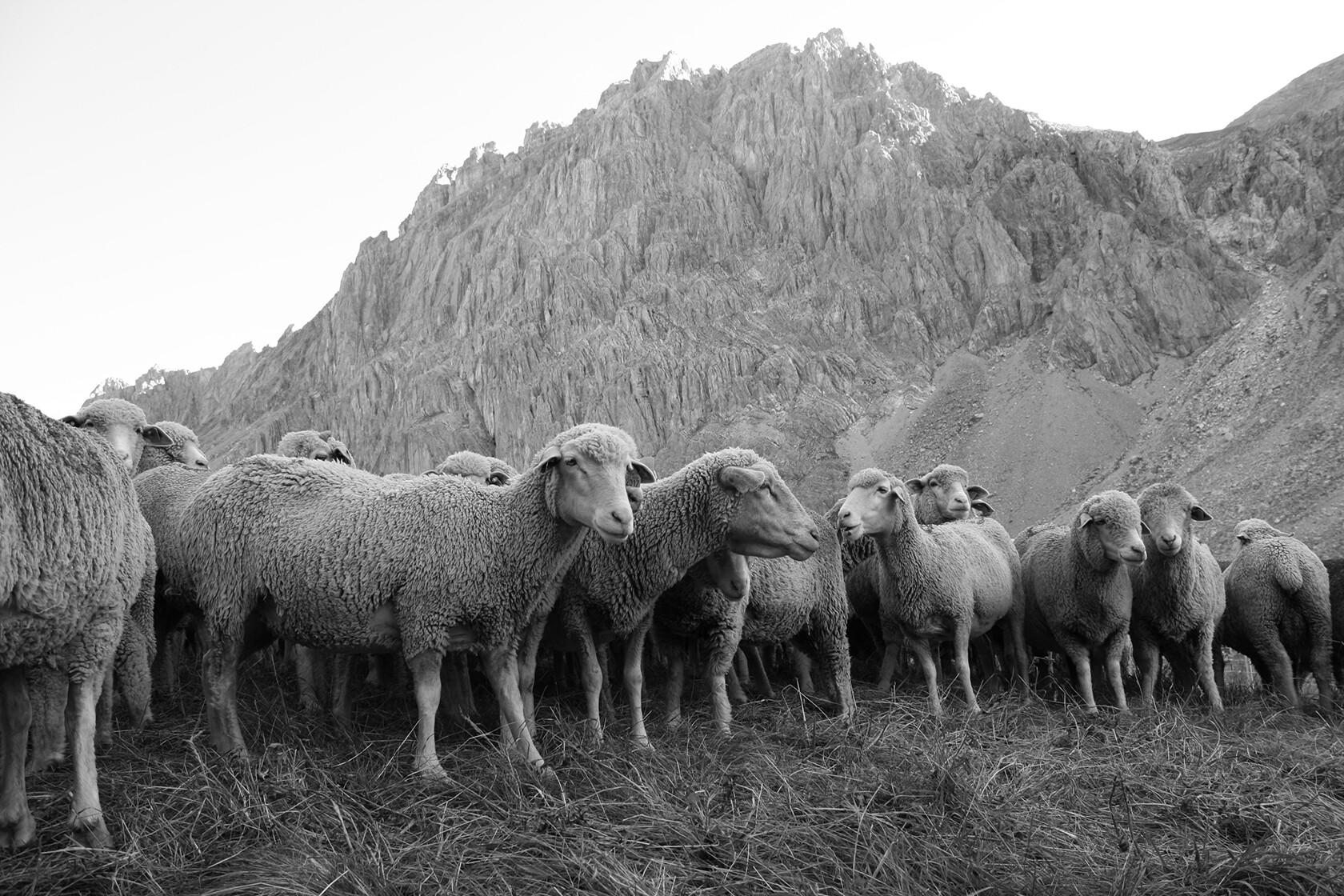 Merino d'Arles Quality Merino Wool Provence