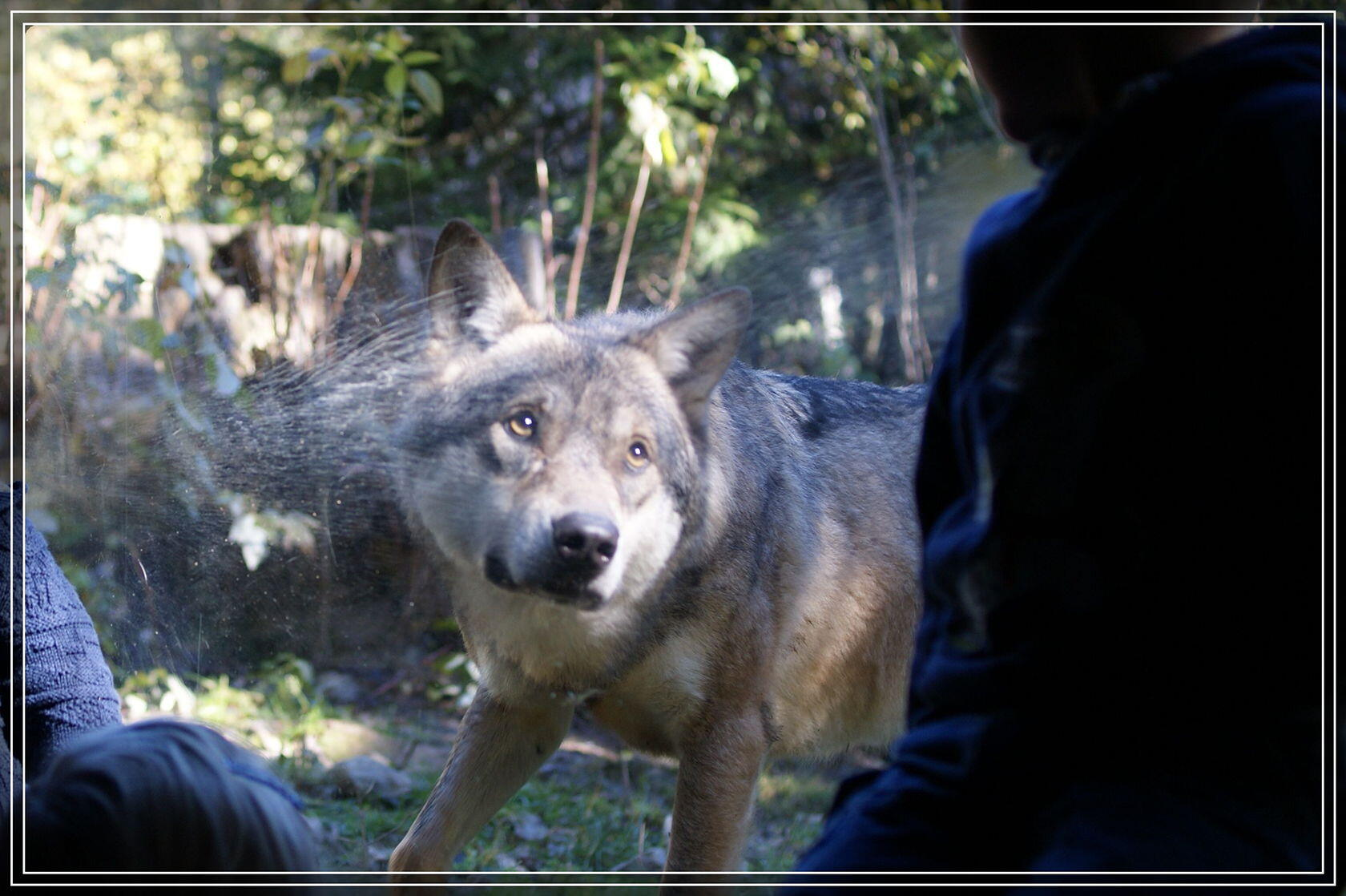 Mercantour Wolves Parc Alpha Top French Riviera en Famille