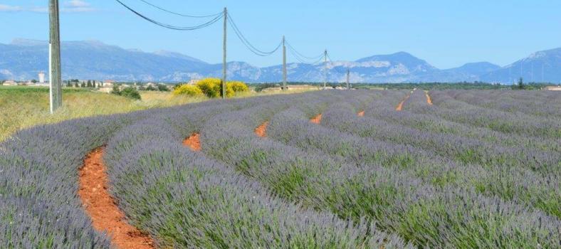 Lavender Plateau de Valensole