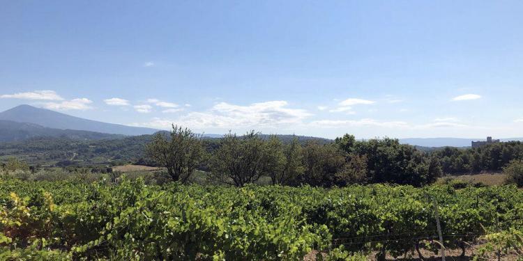 Vaucluse Vineyards Provencal Rituals Cultural Norms