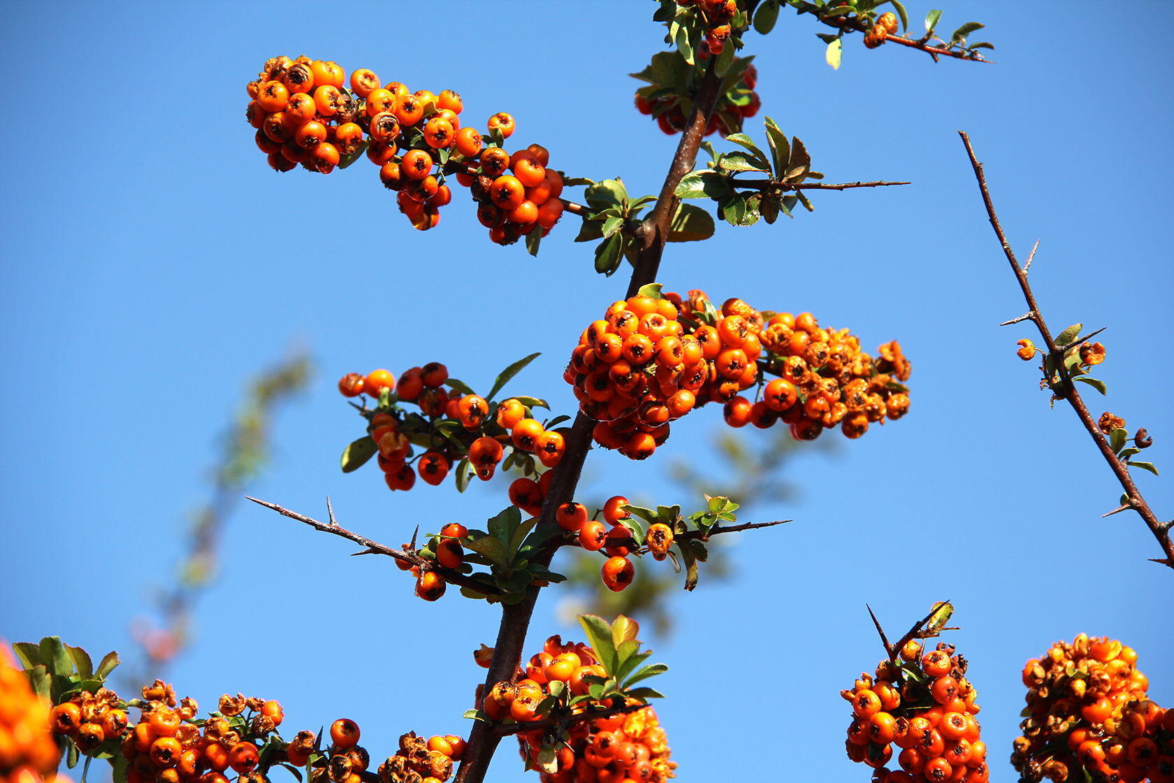Provence Fall Pyracantha bushes (Firethorns)