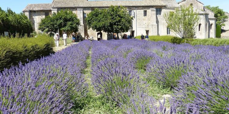 St Remy Lavender