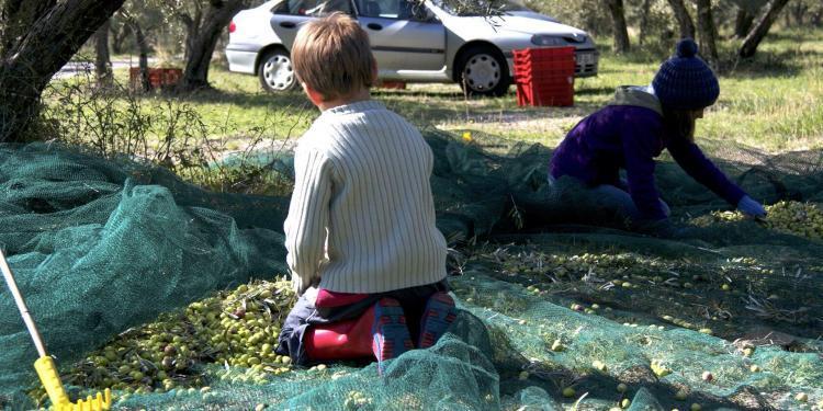 Provencal Olive Oil Harvest
