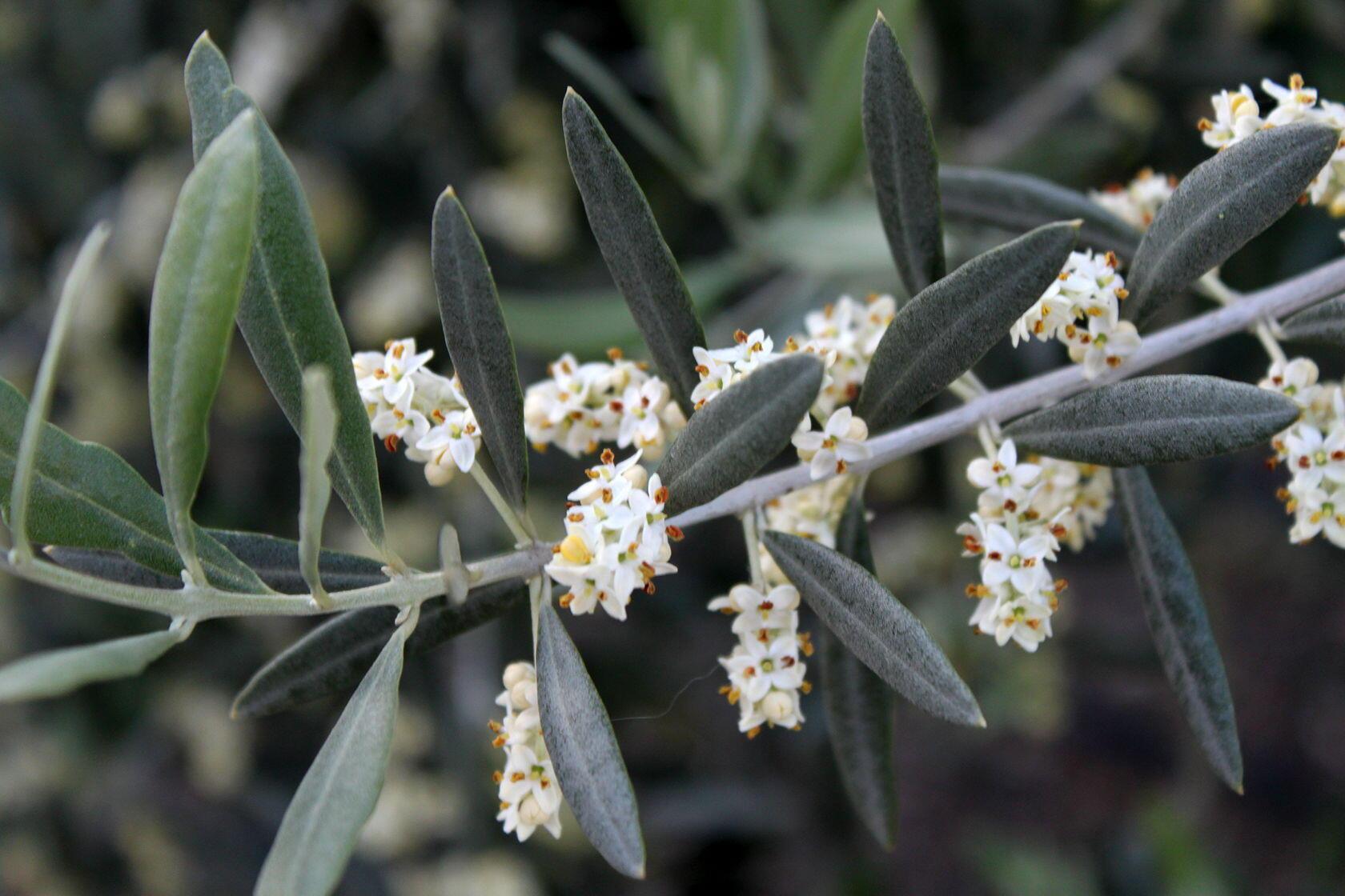 Understanding Provencal Olive Oil