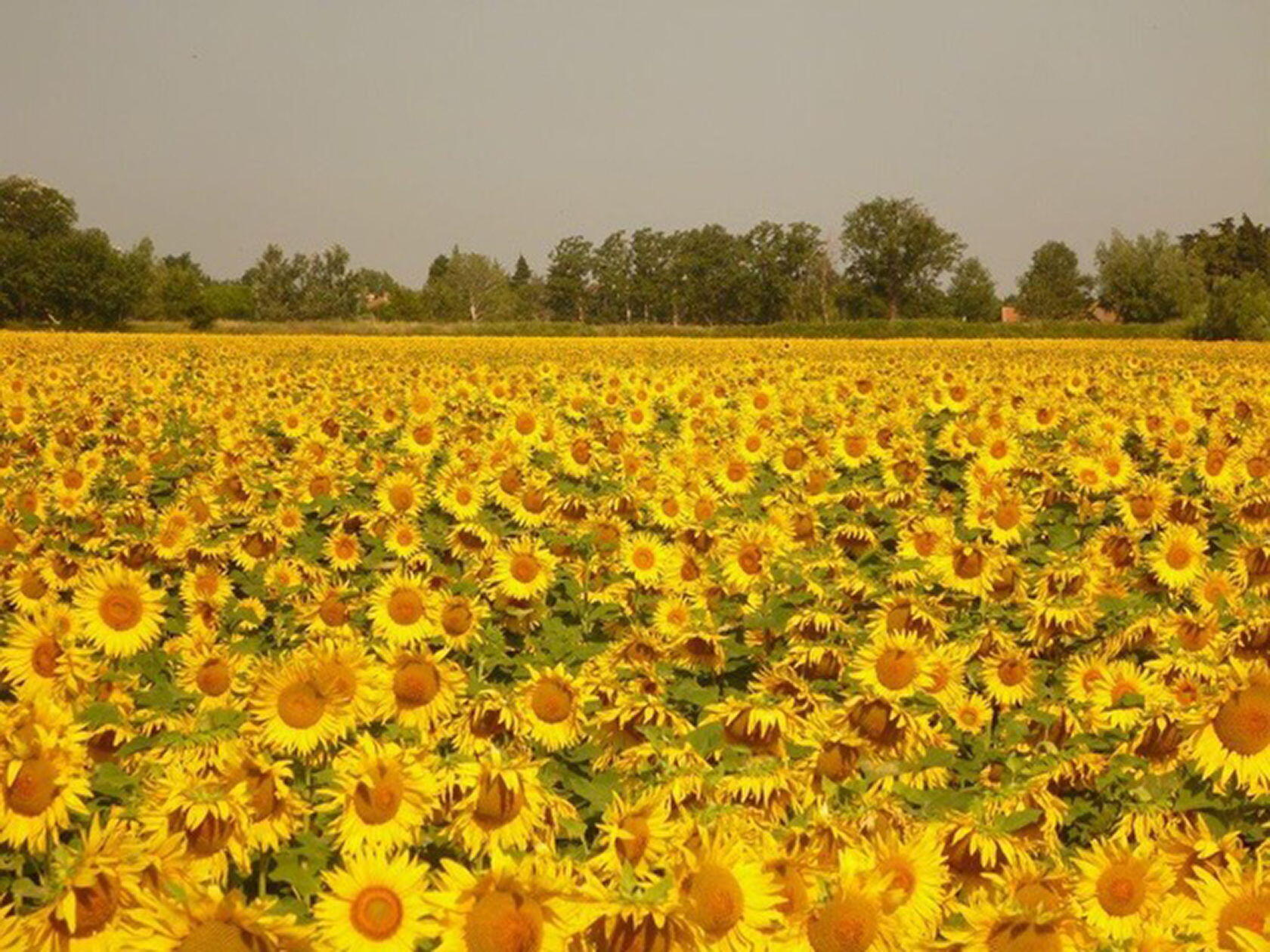 Provence Sunflower Fields Summer