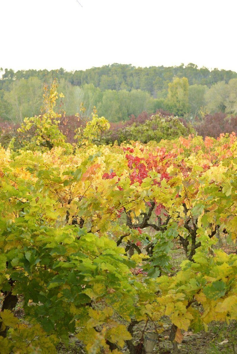 Puyricard Provence Vineyard Vendage Season