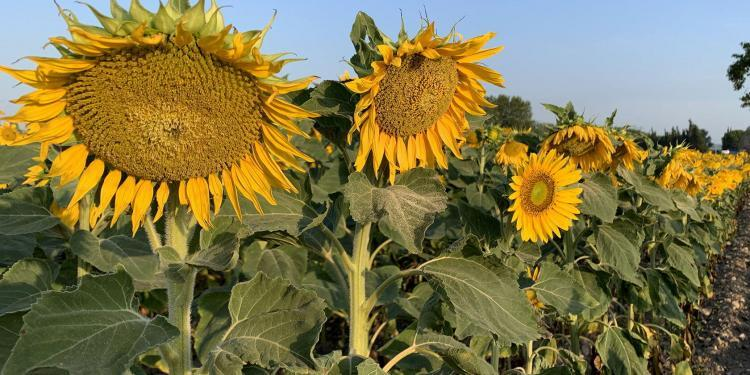Sunflowers Provence Summer Flower