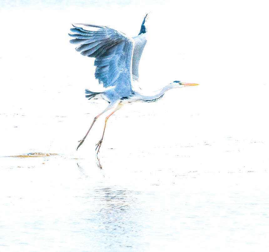 Grey heron in blue Nature Photography Provence