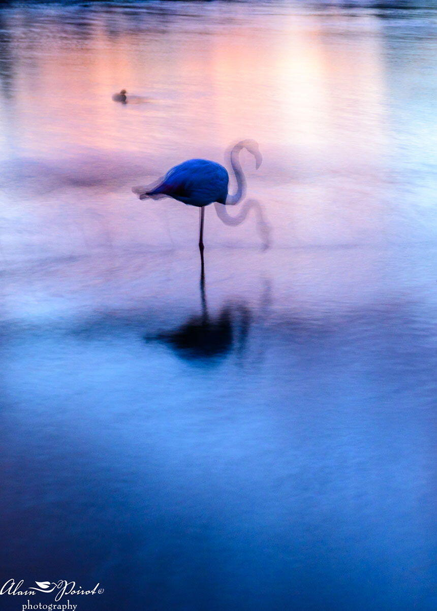 Nature Photography Provence Alain Poirot flamingo head up-down
