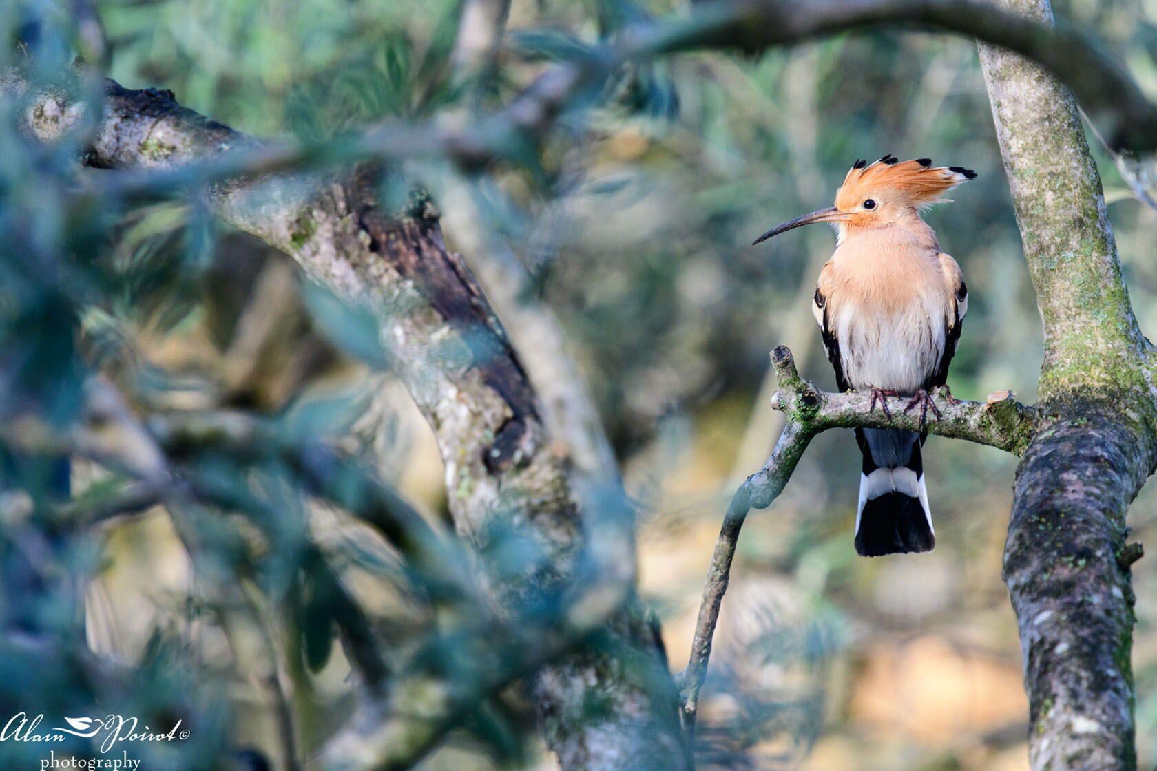 Photography Alain Poirot hoopoe bird Provence