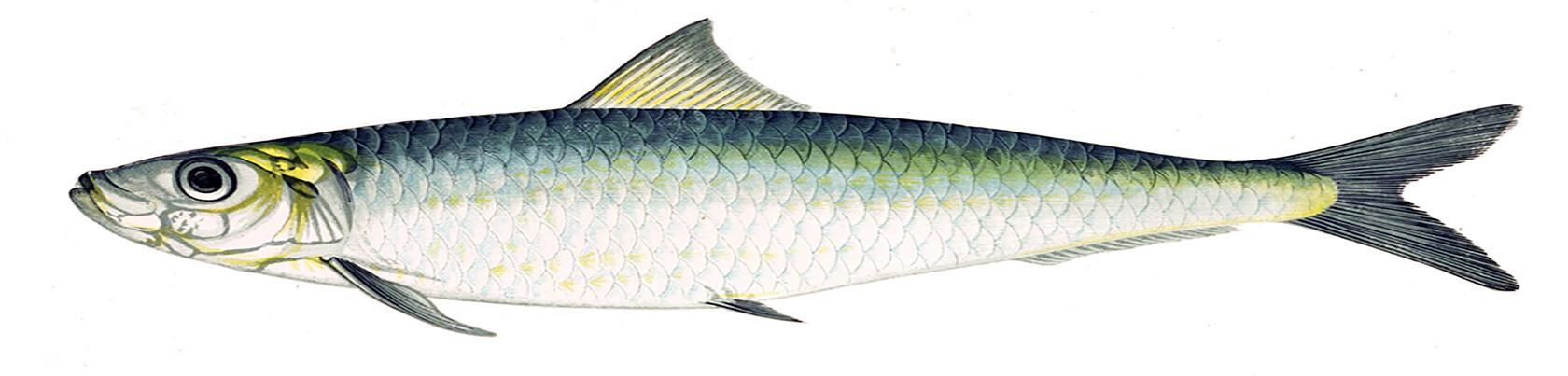 Molinari sardine Two Famous Marseille Expressions