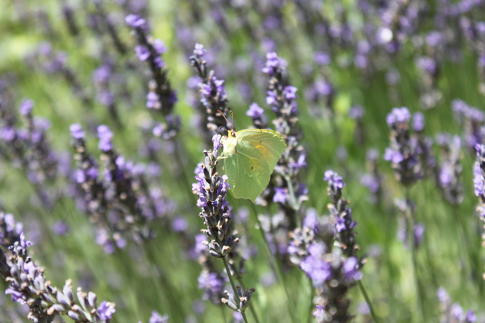 Lavender in Provence Rent or Home