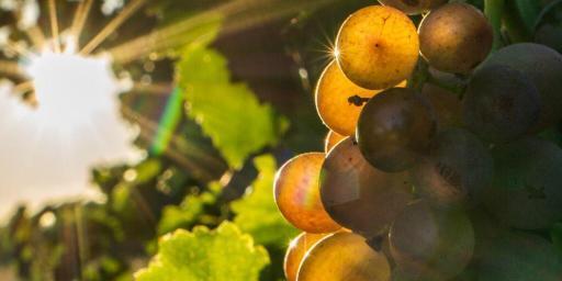 Grenache Gris Grape Varietal