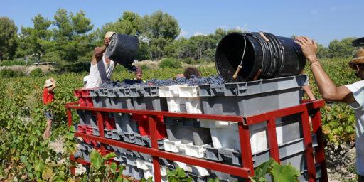 Grape Harvest Tour du Bon The Wines of Provence – Tricolour